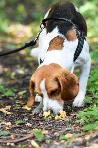 Kurs i kantarellsök hos Glada Jyckar - Bilden föreställer beaglen Tage som nosat upp några kantareller
