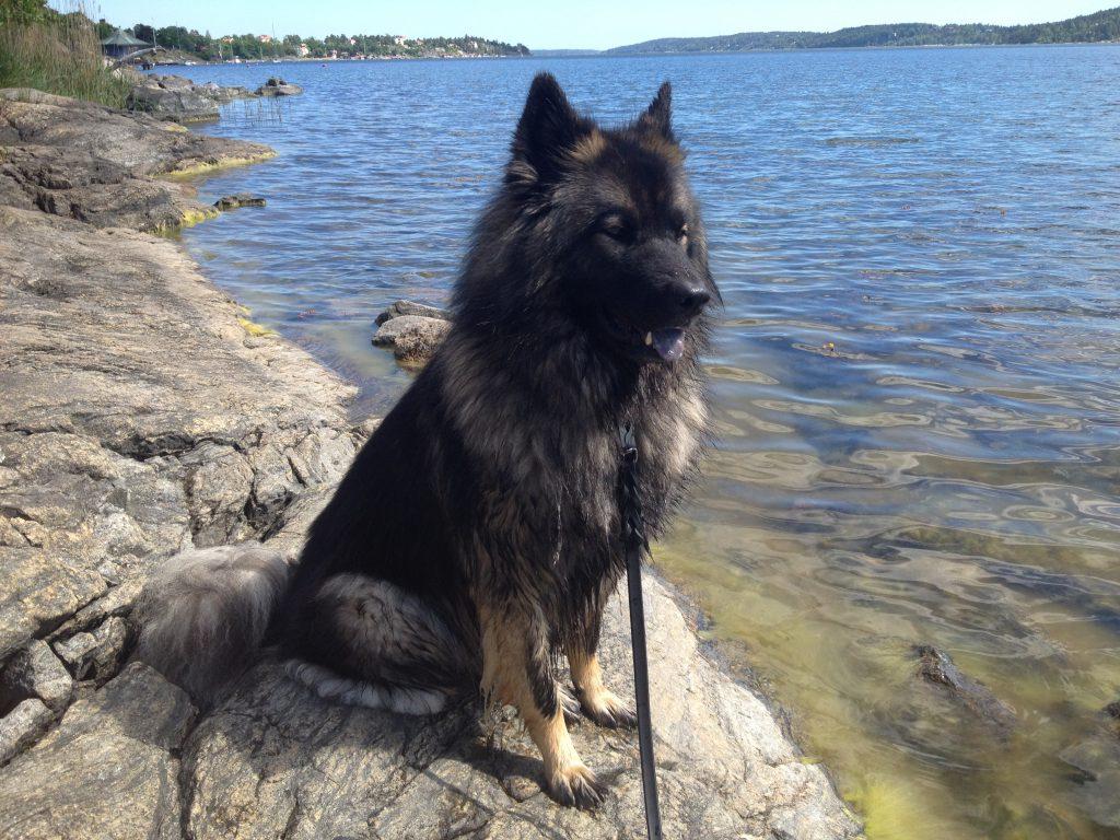Glada Jyckar - Hundkurser på Gotland - Eddie njuter av sommaren
