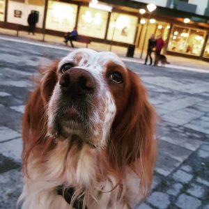 Diplomathunden Oskar, i bakgrunden syns en schäfer under pågående träning