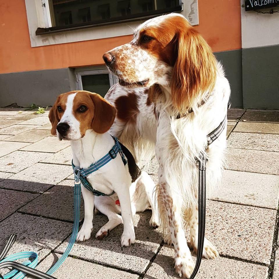 Diplomathundarna Tage (beagle 3 år) och Oskar (Engelsk setter 7 år)