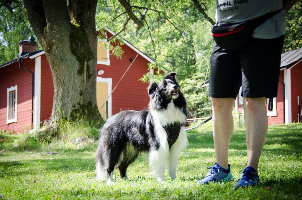 Sheltien Morris på Happy Dog Camp 2019