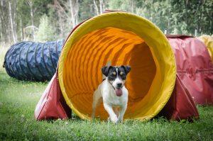 Jack Russeln Ziggy i agility-tunneln
