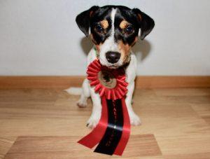 Ziggy med rosett för kvalificerat resultat