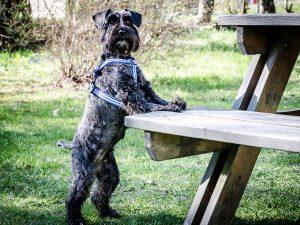 Greta visar sin favoritträningsform Dogparkour