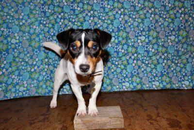 Ziggy står med framtassarna på en kloss, redo för klossträning