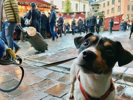 Ziggy på Gamla Stans julmarknad