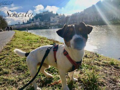 Ziggy på promenad i Salzburg