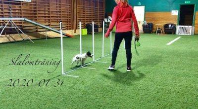 Ziggy tränar slalom