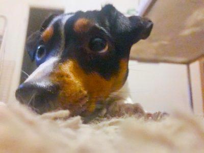 Ziggy ligger på mattan
